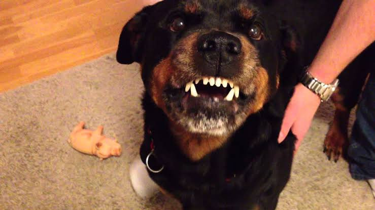 Family Rottweiler dog fatally mauls 1-day-old baby boy