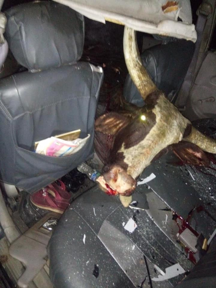 Cow crashes into car in Delta (photos)