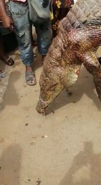 Villagers gather to stare in amazement at huge crocodile killed in Anambra state