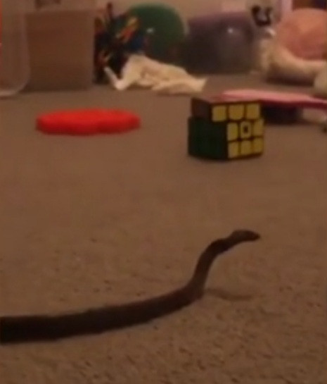Mum finds venomous snake in daughter?s bedroom after mistaking it for shoelace