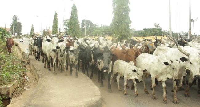 Amotekun seizes 100 cows in Ondo