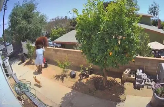 Moment brave woman pushes a bear off her garden wall to stop it from attacking her dogs (video)
