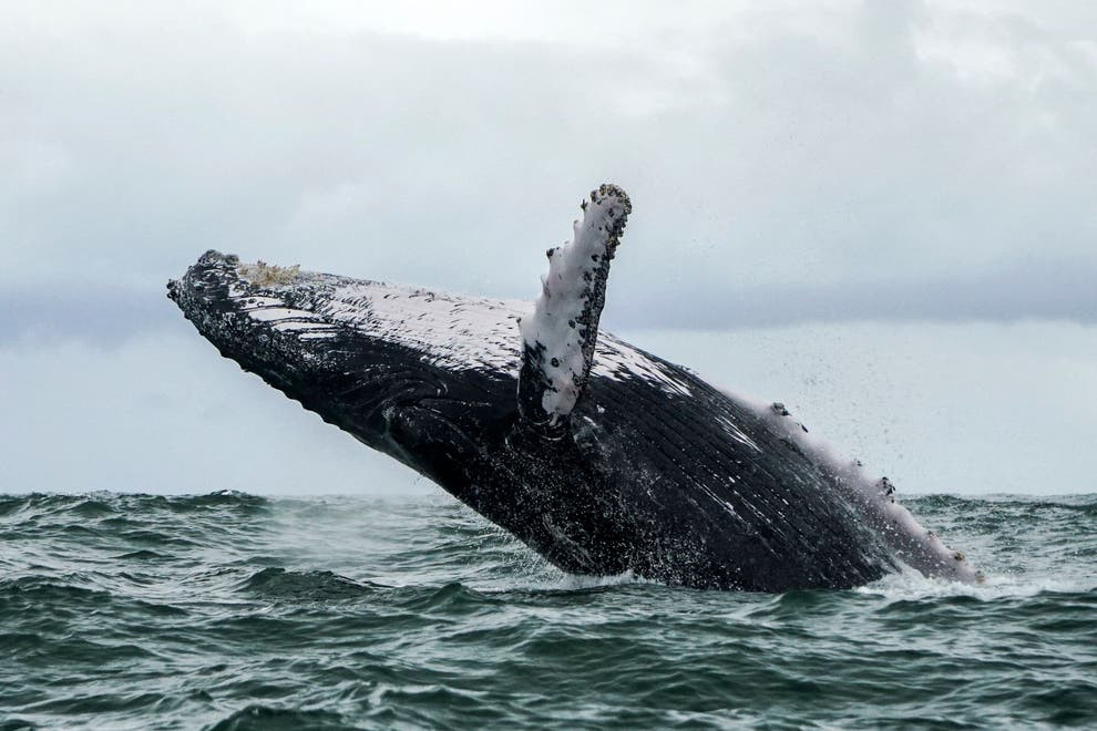 Lobster diver survives after being swallowed by a humpback whale