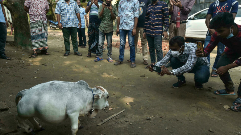 Thousands flock to see dwarf cow in Bangladesh that