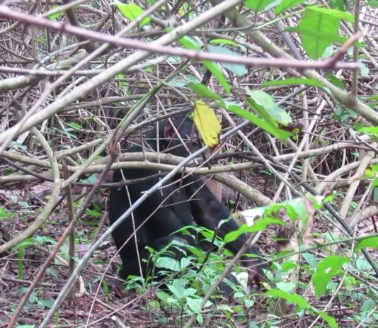 Chimpanzee filmed masturbat*ng using plastic bottle as sex toy (video)