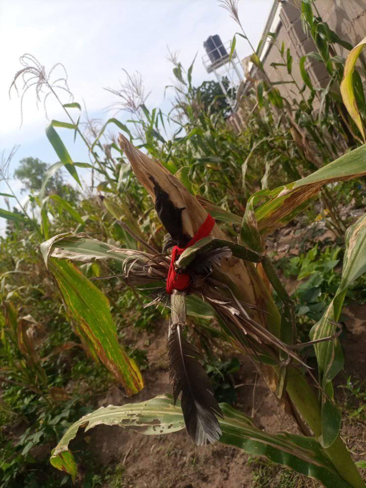 Fetish items found tied around corn cobs at farm in Taraba
