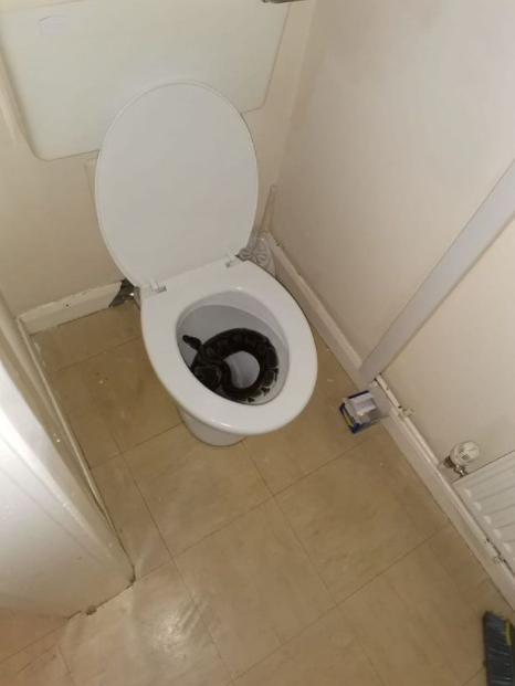 """""""I nearly sat on the thing"""" Woman finds terrifying 4ft python in her toilet bowl at 5.30am"""